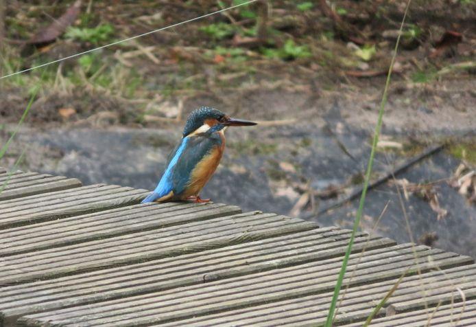 IJsvogel in de tuin van Astrid Boot