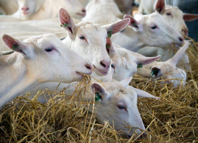 In Meierijstad gold maandenlang een verbod op bouwen binnen een straal van twee kilometer vanaf geitenbedrijven.