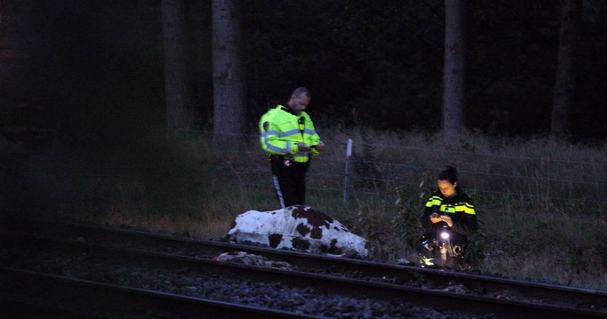 Meerdere koeien dood na botsing met trein tussen Wierden en Rijssen.