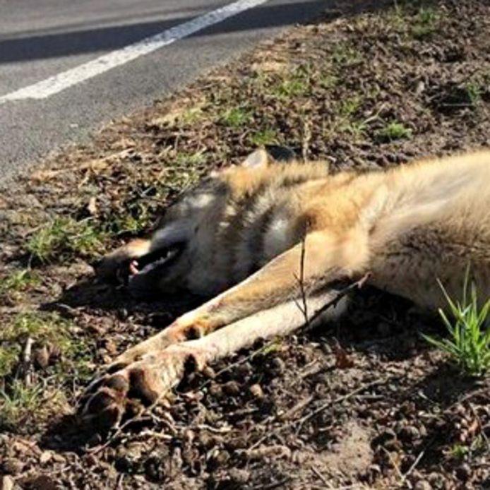 De dode wolvin langs de weg in Ede