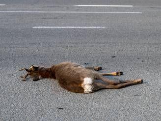 Automobilist verrast door overstekende ree: dier overleeft aanrijding helaas niet