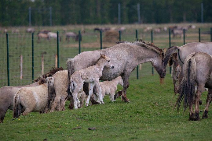 Konikpaarden in de vangkraal in de Oostvaardersplassen.