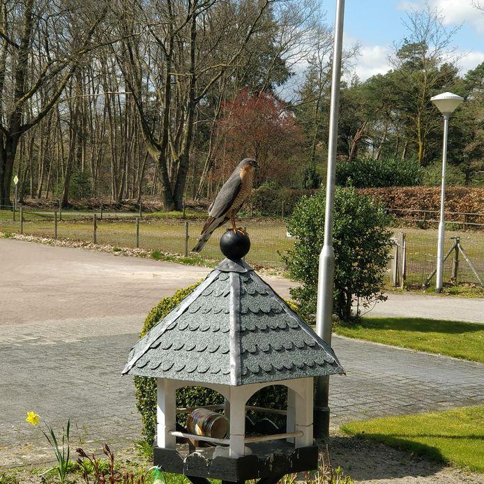 Een valkje op de uitkijk. Gerard Schothuis, Langeveen.