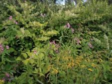 Japanse 'horrorplant' gevaar voor bloemen en planten in Westland: 'Het is een gigaprobleem'