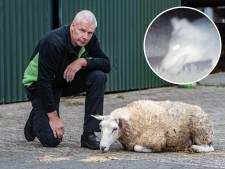 Schreeuw om actie vanuit politiek na afslachting schapen in Salland: 'We maken ons zorgen'