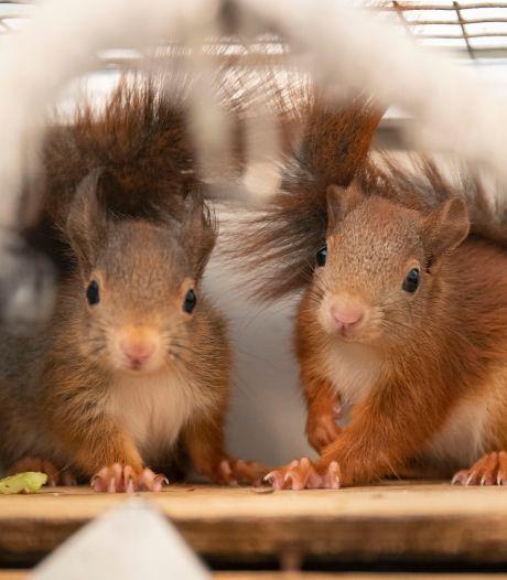 Bij Brigitte logeren ruim vijftig eekhoorns in de achtertuin: 'In de natuur is zo'n beestje verloren'