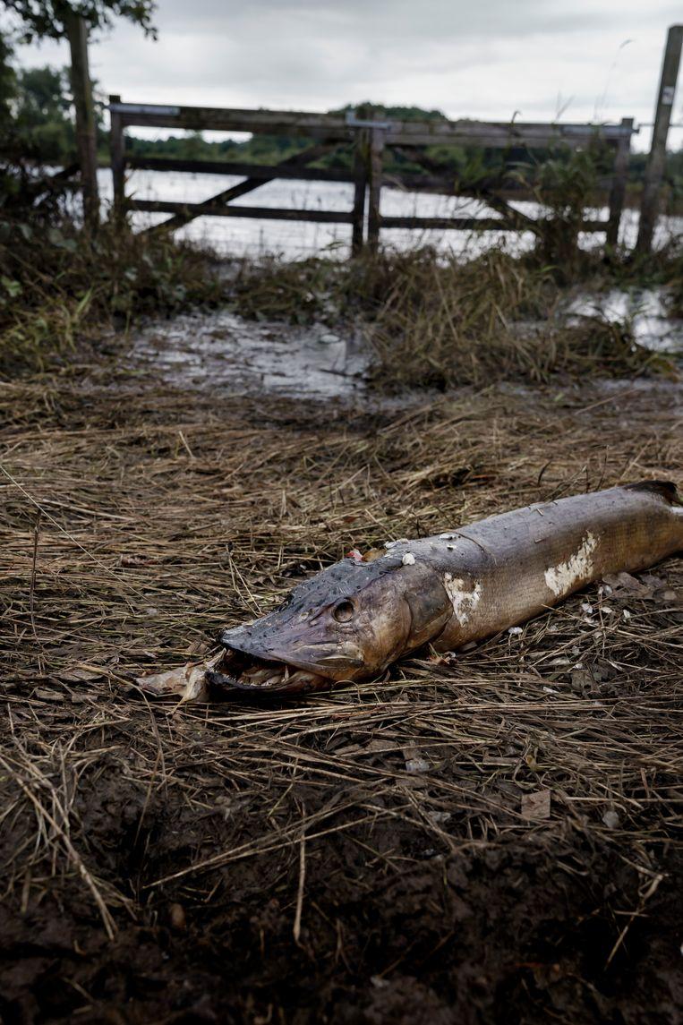 Een dode snoek in de Demerbroeken. Deze vissoort speelt een cruciale rol in waterzuivering. Beeld © Eric de Mildt
