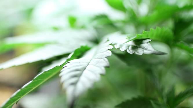 Geur deed hen de das om: acht cannabiskwekers veroordeeld tot celstraffen tot dertig maanden