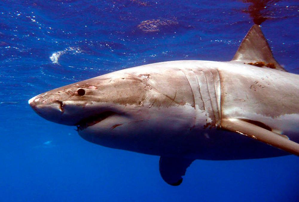 Een witte haai. Foto ter illustratie.