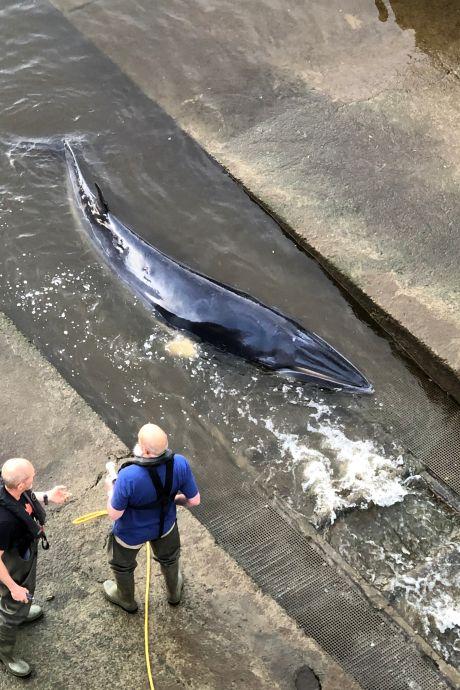 Sauvetage d'une petite baleine échouée dans la Tamise à Londres