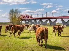 Koeien terug in Zwolse wei: 'Blijft een prachtig gezicht'