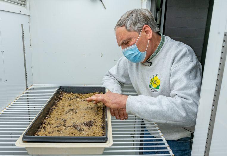 Nadat de fles is opgegraven, worden de zaden eruitgehaald en in een bak in de groeikamer geplaatst.  Beeld Derrick L. Turner/Michigan State University