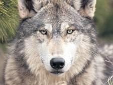 Wat je moet doen als je plots oog in oog staat met de wolf