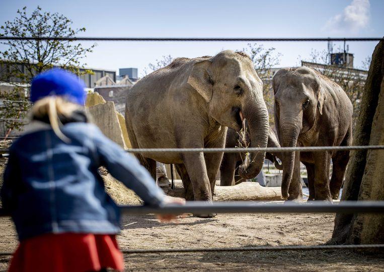 Half april mocht Artis als proef al even open; sinds vandaag is de dierentuin weer te bezoeken. Beeld ANP