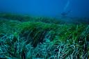 Onderwater zeegras in kustgebieden over de hele wereld lijkt stukjes plastic vast te houden in natuurlijke bundels van vezels die bekend staan als 'Neptune balls'.
