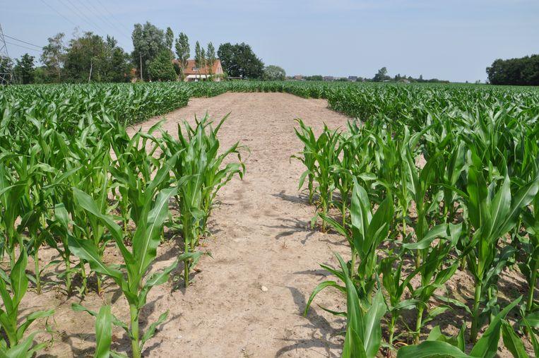 De zone voor de tent is al vrijgemaakt, maar de maïs moet nog anderhalve meter groeien.