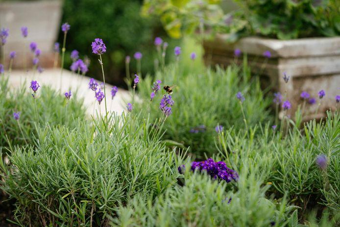 De Sunken Garden van Kensington Palace werd opnieuw aangelegd ter ere van Diana. Lavendel geeft de plek een aangename geur.