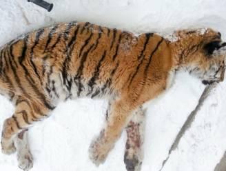 Siberische tijger gaat tegen al haar normale instincten in naar dorp en legt zich voor huis om hulp te vinden