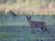 Après les loups et les lynx, des chacals dorés en Belgique?