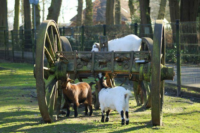 Alleen de geiten van de kinderboerderij verhuizen enkele weken naar het hertenkamp elders in Rijssen.
