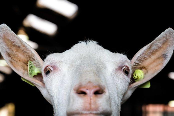 Een geit in een melkgeitenhouderij. Foto ter illustratie.