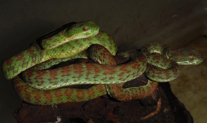 """De """"Trimeresurus Kuiburi"""" is zo'n 52 centimeter lang en leeft  op kalksteenrotsen in  Thailand. Zowel mannetjes als vrouwtjes hebben een groene bovenkant met rood-paarse banden."""