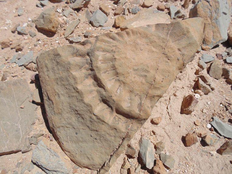 De wetenschappers moesten de Rhamphorhynchus herkennen aan onder meer een stuk ruggenwervel. Beeld AFP