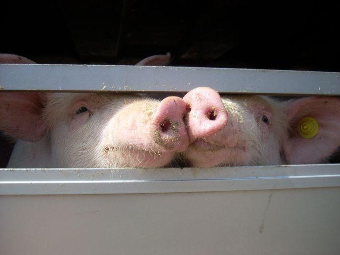 Bij mobiel slachten van varkens hoeven de dieren niet meer op transport. Dat scheelt veel stress.