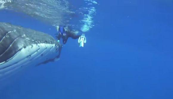 De bultrugwalvis duwt Nan Hauser met zijn neus uit het gevaarlijke gebied waar de enorme tijgerhaai rondzwemt.