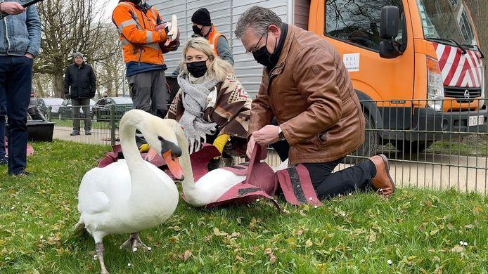 De Brugse zwanen proeven weer van de vrijheid, na vijf maanden quarantaine.