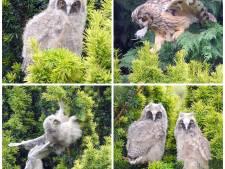 Woerdenaar fotografeert uilengezinnetje in z'n eigen achtertuin