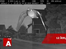 Duif vliegt 12 kilometer te hard en wordt geflitst in Bocholt