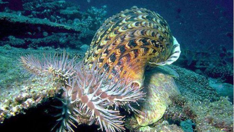 De slak, die tot anderhalve meter groot kan worden, eet de zeesterren in het koraal op. Beeld AIMS