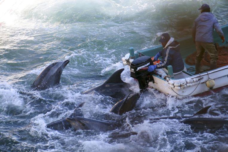 De dolfijnenjacht is een bloederige traditie in een baai in de Japanse kustplaats Taji.