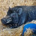 Het zwarte varken werd alleen gevonden.
