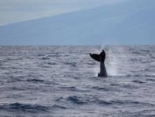 Une baleine à bosse aperçue au large d'Ostende