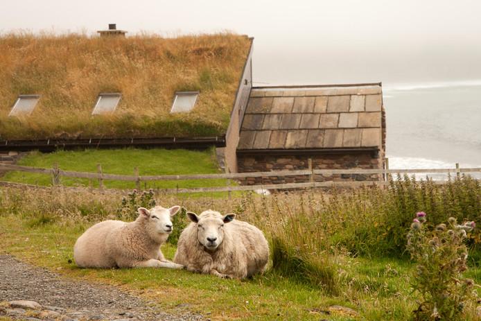Des moutons sur l'archipel des Orcades.