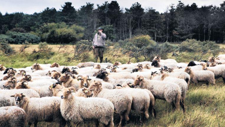 Loek Geerlings met zijn kudde schapen in de Waterleidingduinen. Foto Klaas Fopma Beeld