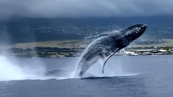 Walvissen voeren adembenemende show op vlak bij bootje