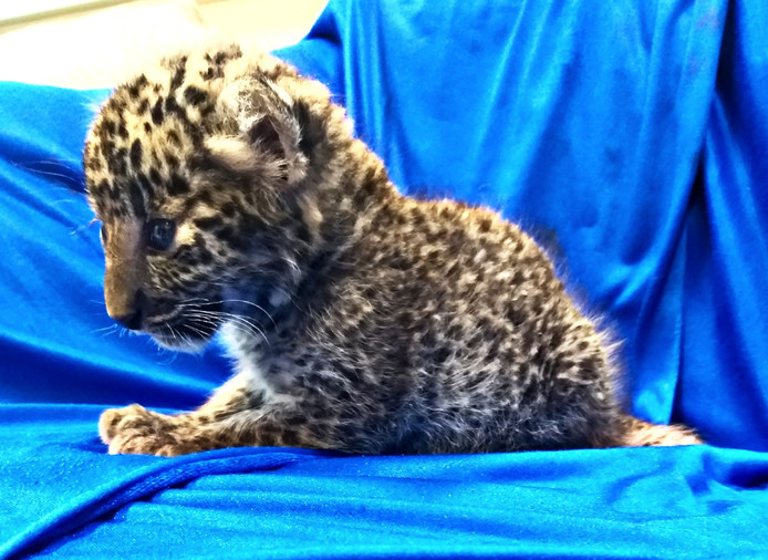 Het luipaardwelpje werd gevonden in de handbagage van een passagier op de luchthaven van Madras in Zuid-India.
