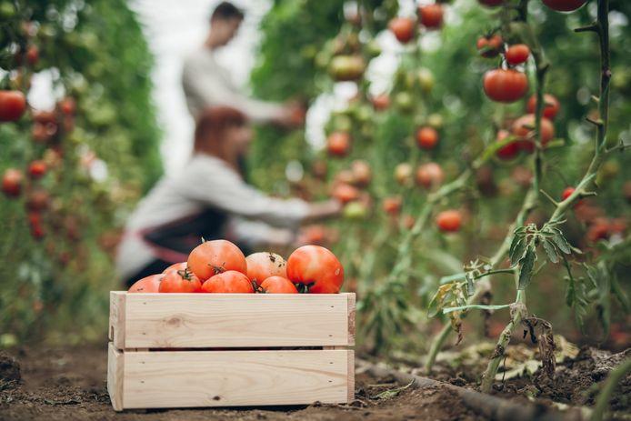 Bij de oogst van bijvoorbeeld tomaten worden veel arbeidsmigranten ingezet.