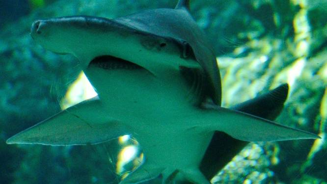 Haaien gebruiken magnetisch veld van aarde als gps