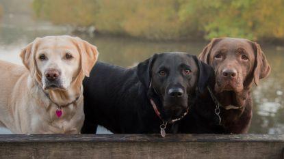 Chocoladebruine labradors leven minder lang dan hun beige of zwarte rasgenoten. Dit is waarom