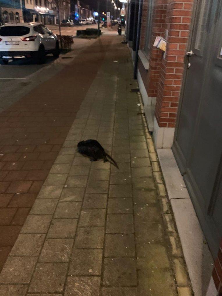 De beverrat wandelde ook zondagavond nog rond op de Wijnegemsteenweg.
