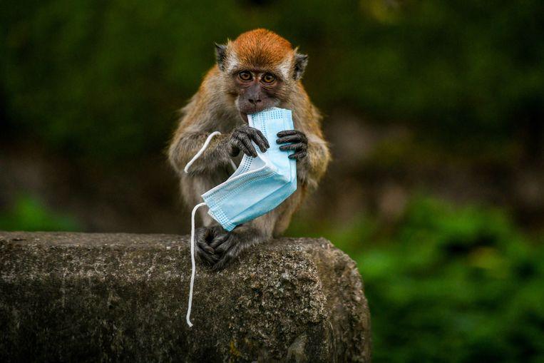 De beelden bij deze productie komen uit de top-10 die de fotoredactie van vakblad Nature selecteerde uit de wetenschappelijke beelden van 2020. Deze foto toont de coronacrisis van een andere kant. Mondkapjes zijn onderdeel geworden van het dagelijks leven, van mensen maar ook van deze apen. De beschermingsmiddelen hebben de verspreiding van het virus, Sars-Cov-2, geremd, maar zijn zelf ook verspreid in het milieu. Ze zijn een nieuwe bult op de toch al enorme berg plastics die de natuur belast. Beeld Hollandse Hoogte / AFP