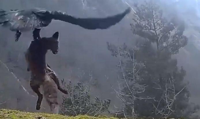 De adelaar gaat aan de haal met de dode vos.