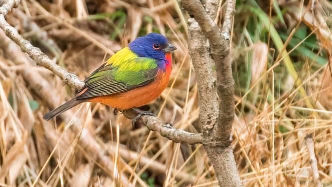 """Honderden Amerikaanse vogelaars troepen samen om """"uitzonderlijk zeldzaam"""" vogeltje te zien"""