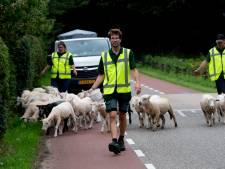 Ook in Gorssel worden de maaimachines vervangen door levende grazers: 'Steeds meer mensen ontdekken het nut van de begrazing door schapen'