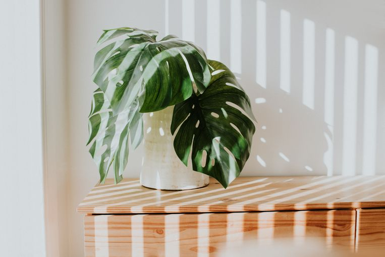 Stylish rustic white planter with swiss cheese plant, against white wall with light streams illuminating the room. Minimalist. Concept and space for copy. Beeld Getty Images