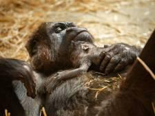 """Un bébé gorille est né au zoo d'Anvers, une """"excellente nouvelle"""" pour l'espèce"""